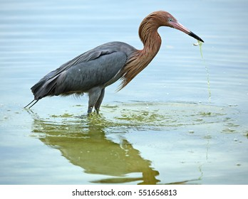 Reddish Egret Egretta Rufescens With Scruffy Breeding Plumage A Fish In Its