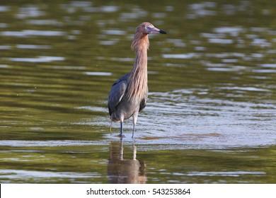 Reddish Egret (Egretta rufescens) standing in water, Ding Darling NWR, Florida, USA