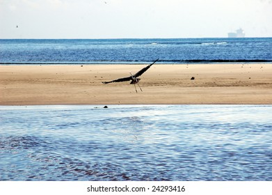 An reddish egret going for landing at Oyster Bay in Dar es Salaam