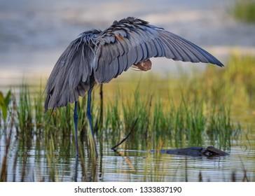 Reddish Egret looks under wing while preening