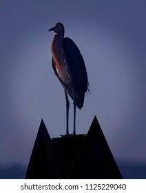 Reddish egret sitting on pylon in central Florida