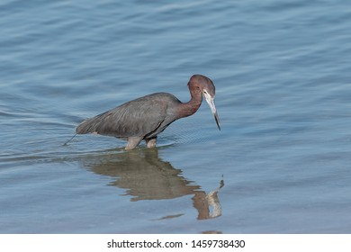 Reddish egret wading through the water hunting for food