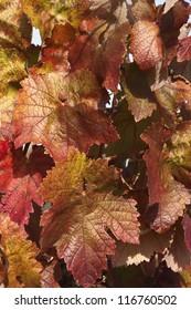 Reddish foliage of grapevines in the fall season