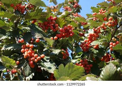 Reddish orange fruits in the leafage of Sorbus aria