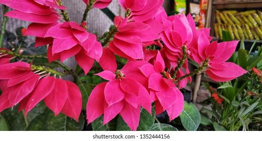 reddish paper flower of my garden