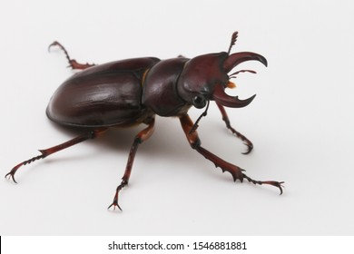 The Reddish-Brown Stage Beetle (Lucanus capreolus) is found in eastern North America.  Males, like the one pictured here, have large mandibles that they use in battles with other males.