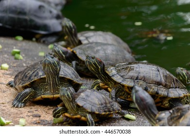 Red-eared slider ( Japanese turtles ) terrapin Common name is Trachemys scripta elegans in the turtles pond
