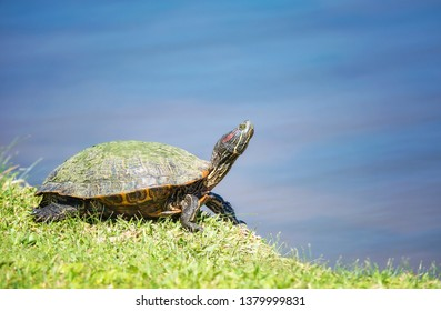 Red-eared Slider (Trachemys scripta elegans) basking in the sun in springtime. Turtle portrait in natural environment by a lake.