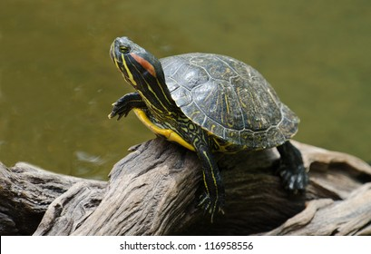 A red-eared slider turtle basking in the sun on a dead branch