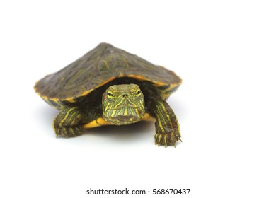 Red-eared Slider turtle on a white background