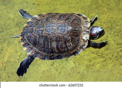 A Red-eared slider turtle (Trachemys scripta elegans) swimming in a pond