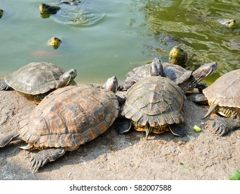 Red-eared slider turtles.  It is the most popular pet turtle in the world.