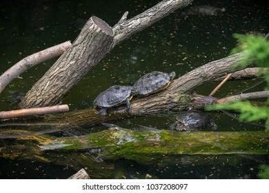 Red-eared terrapin turtles