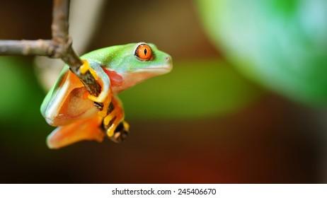 red-eye tree frog  Agalychnis callidryas in terrarium