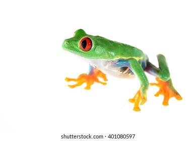 red-eye tree frog  Agalychnis callidryas isolated on white