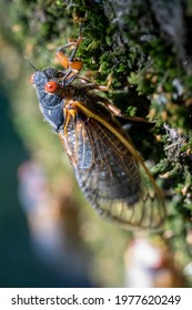 A red-eyed 17-year cicada completes its transformation as it clings to the rough, mossy bark of a tree in the woods of Virginia.
