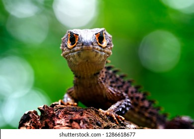 Red-eyed crocodile skink, tribolonotus gracilis, papua lizard