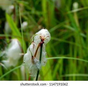 Red-eyed Damselfly (Erythromma najas) peering over a white fluffy seed head of Common Cotton Grass (Eriophorum angustifolium) at the side of a pond