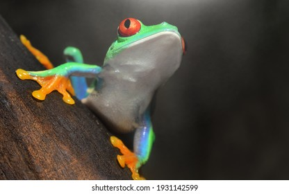 Red-eyed frog (Agalychnis callidryas) sitting on a tree log, close-up. Zoo laboratory, terrarium, zoology, herpetology, science, education. Wildlife of Neotropical rainforests