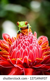 red-eyed frog from costa rica on red flower