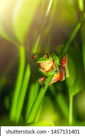 Red-eyed frog sitting on the plant, little green amphibian, tiny wild animal of Central America, amazing and exotic nature of Costa Rica