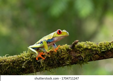 Red-eyed Tree Frog (Agalychnis callidryas) on a moss covered branch, in the jungles of Costa Rica