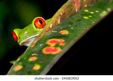 Red-eyed Tree Frog  Agalychnis callidryas at Tropical Rainforest at Corcovado National Park in Osa Conservation Area  Osa Peninsula  Costa Rica  Central America America