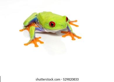 Red-eyed tree frog (Agalychnis callidryas) close-up isolated on white background