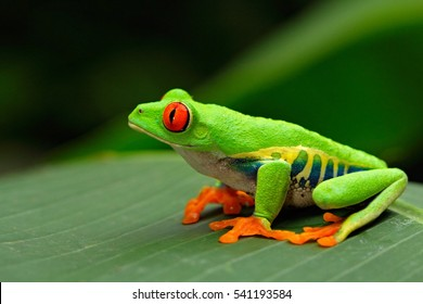 Red-eyed Tree Frog, Agalychnis callidryas, Costa Rica. Beautiful frog from tropical forest. Jungle animal on the green leave. Frog with red eye.