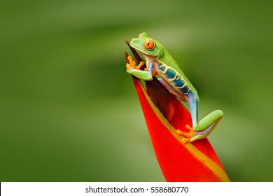 Red-eyed Tree Frog, Agalychnis callidryas, animal with big red eyes, in the nature habitat, Costa Rica. Beautiful frog in forest, exotic animal from central America.
