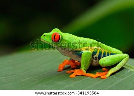 redeyed tree frog agalychnis callidryas costa の写真素材 今すぐ