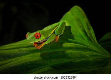 Red-Eyed Tree Frog before jumping
