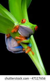red-eyed tree frog clinging to a plant isolated on black - red-eyed tree frog (Agalychnis callidryas)