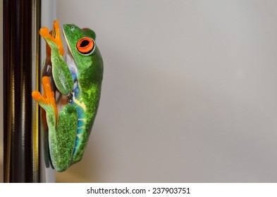 red-eyed tree frog hanging on a chrome tube, side view