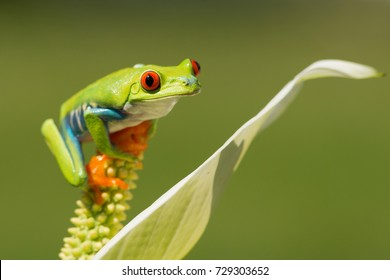Red-eyed tree frog has red eyes with vertically narrowed pupils. It has a vibrant green body with yellow and blue, vertically striped sides. Its webbed feet and toes are orange or red.