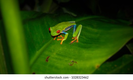 Red-Eyed Tree Frog at night in Costa Rica