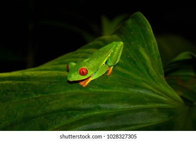 Red-Eyed Tree Frog at night in Costa Rican rain forest