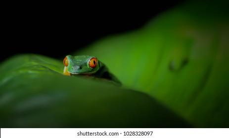 Red-Eyed Tree Frog on a leaf at night