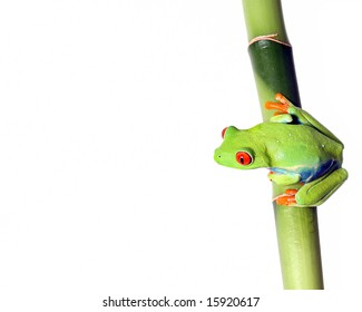 Red-Eyed Tree Frog perching on Bamboo.  Isolated on white background.