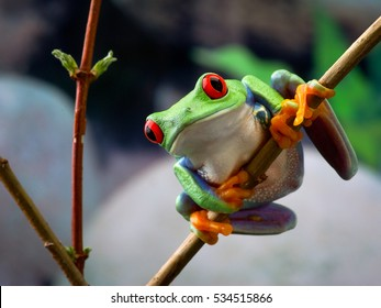 The red-eyed tree frog. Frog with red eyes, wood. Beautiful green and blue colors. Exotic animal of rain forest. agalychnis