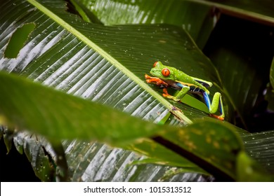 Red-Eyed Tree Frog Sitting on Large Tree Leaf. Multi-Colored Frog in Cloud Forest. (Arenal Volcano, Costa Rica).