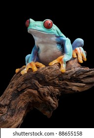A red-eyed tree frog is sitting on a branch.