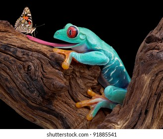 A red-eyed tree frog is sticking out his tongue to trap a curious butterfly.