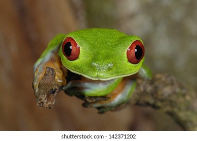 Red-eyed Treefrog (Agalychnis callidryas) in Costa Rica rainforest