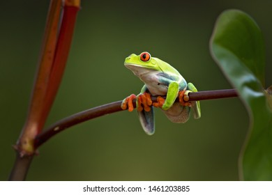 Red-eyed treefrogs inhabit areas near rivers and ponds in rainforests and humid lowlands on the Atlantic slopes