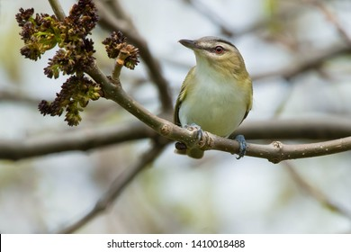 Red-eyed Vireo perched on a branch looking up. Ashbridges Bay Park, Toronto, Ontario, Canada.
