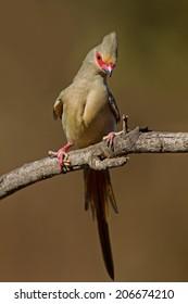 Red-faced mousebird; Urocolius indicus