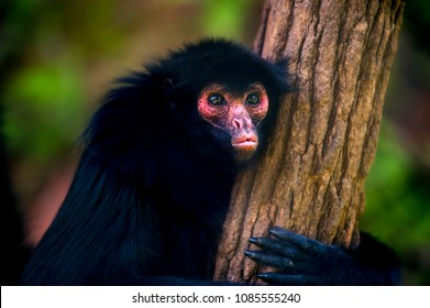 Red-faced spider monkey (Ateles paniscus) is an Amazôniam primate of Atelidae family, the best known species of the genus Ateles. Captive animal.