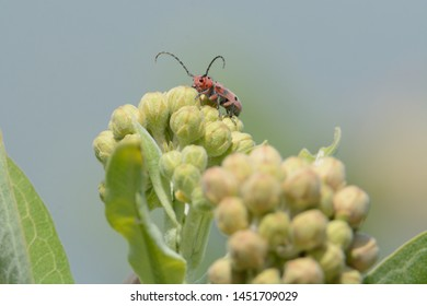 Red-femured Milkweed Borer longhorn beetle or tetraopes femoratus crawling on showy milkweed flower buds