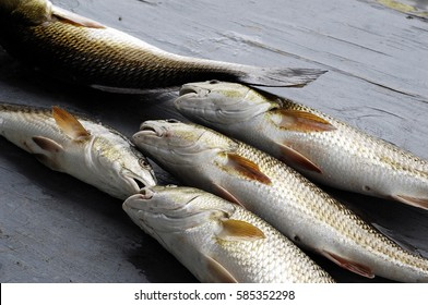 Redfish caught at Lafitte, Louisiana, lying on a table and ready to fillet